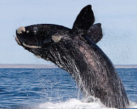 HELP THE MOST ENDANGERED OF WHALES