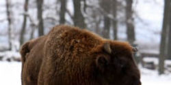 Poland, Don't Kill Bison If It's Not Necessary!