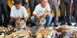 Save the Critically Endangered Indochinese Tiger