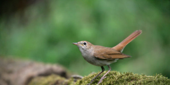 Help save one of the most beautiful songbirds - the Nightingale - from extinction