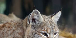 Stop Hunting Lynx in Europe