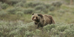 Keep Yellowstone's Grizzly Bears Protected