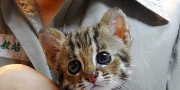 Please help us to save the life of Leopard cats (Joho) in Miaoli, Taiwan