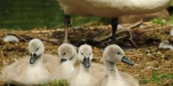 URGENT: Say No to Killing America's Smallest Swans!