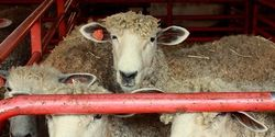 Protest and Demand a Stop to Animal Torture Like These Sheep in Disturbing Video