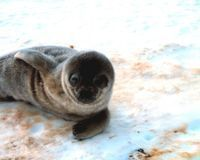 Help Stop the Seal Hunt!