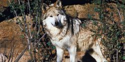 Arizona: Vote No On Killing Mexican Gray Wolves