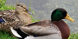 Stop Endangering Ducks by programs such as Duck Dynasty