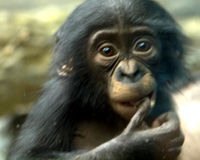 Thank N.I.H. for Retiring Lab Chimpanzees to Sanctuary