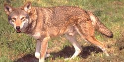 DON'T MIX UP THE REDWOLF AND COYOTE SAVE THE REDWOLF