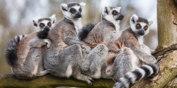 Lemurs, Care2