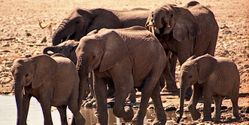 Stop Poachers Killing & Now Poisoning African Elephants Into Extinction!