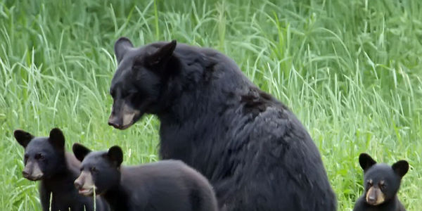 Stop the spring Bear hunt in Ontario