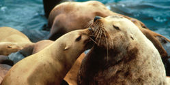 SAVE STELLER SEA-LION