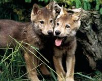 Place Moratorium on Wolf Hunting in U.S.