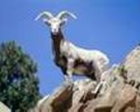 Save Sierra Nevada Bighorn Sheep