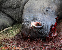 Save Rhinos From Slaughter: Stop Vietnamese Traffickers!