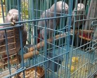 Urge CITES to Eliminate Illegal Trade Of Wild African Grey Parrots!