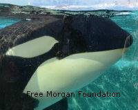 Free Orca Morgan From Evil and Horrible Loro Parque in Spain