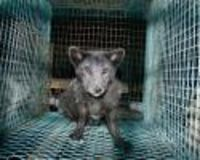Ban Fur Farming in Finland
