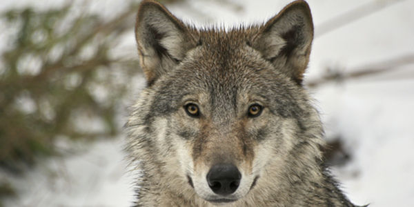 Demand that FWS Review the Status of Idaho's Wolves!