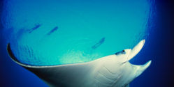 Demand International Protection for Manta Rays