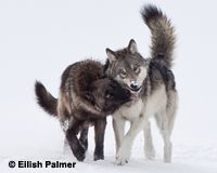 Tell Washington: Don't Delist Wolves!