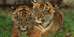 Indonesia- Dont Rent Out Endangered Tigers as Pets
