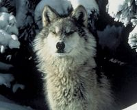 Protect Michigan Wolves and Speak Up for Your Rights