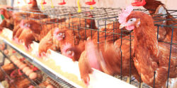 Tell Major Restaurants and Grocery Chain: Don't Support Supplier Who Buries Chickens Alive!