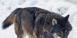 Sign Petition to Show Support to Protection of Wolves Worldwide