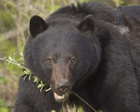 Keep the BC Black Bears Safe!