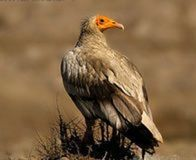 Ban Toxic Chemical Killing Endangered Indian Vultures