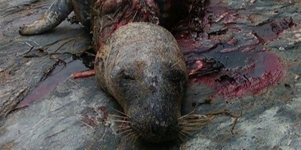 Bloody seal who had plastic around his neck