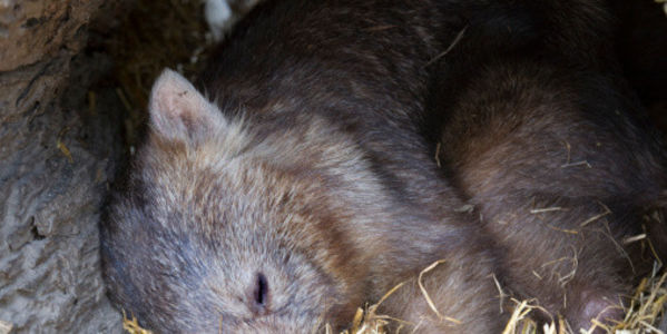 Demand justice for 150 wombats buried alive by a logging company