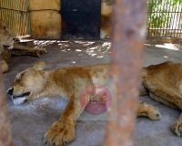 Rescue Animals In Eygpt Zoos