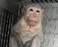 STOP THE MONKEY FARM IN PUERTO RICO