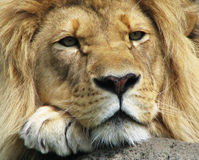 Thank Zambia for Banning Hunting of Lions and Leopards