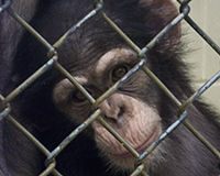 Protect Wild and Captive Chimps from Harm