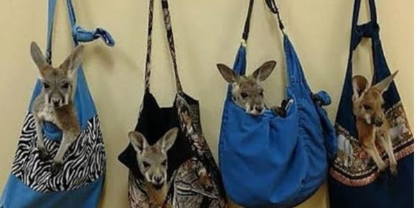 Live kangaroos in purses hanging on a wall