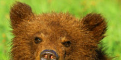 Give Canada's Grizzly Bears Habitat They Can Thrive In!