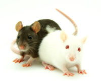Include Mice and Rats in Animal Welfare Legislation