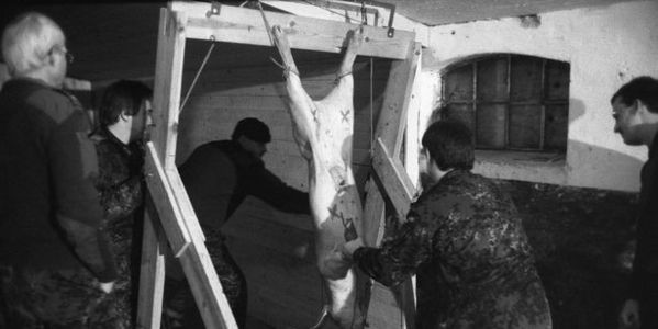 SOS!!! Pigs strung up and SHOT to train British Army medics wounds