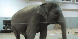 Encourage Congress to Pass National Law that Bans Elephants From Circuses & the Abuse They Endure!