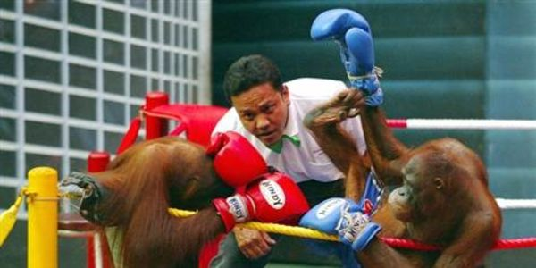 Shut Down The Orangutan Kick Boxing Matches at Safari World