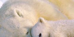 US- Ban Polar Bear Trophy Imports from Canada