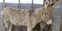 End their misery - Free this wolf and donkey in Albania