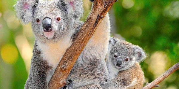 Sign if You Agree: Koala Killers Deserve Jailtime!