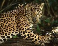 SAVE THE AWSOME CAT JAGUAR