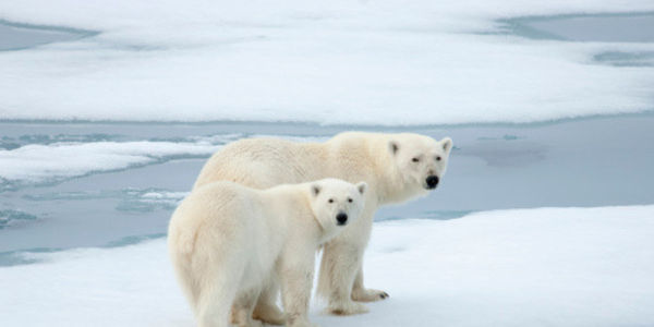 Tell Canada to Protect the Polar Bear